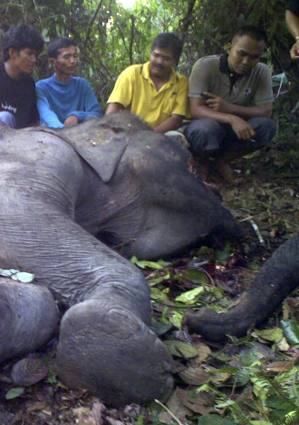 FILE - In this May 7, 2009 file photo, conservationists and officials inspect the carcass of an elephant suspected of being poisoned to death by poachers near Pekanbaru, Riau province, Sumatra island, Indonesia. An environmental group says 129 critically endangered elephants have died on Indonesia's Sumatra island in less than a decade, many from poisoning or shooting, highlighting the country's weak enforcement of laws against poaching. WWF Indonesia said in a report Tuesday, June 4, 2013 that the Sumatran elephants have been found dead in Riau province since 2004, but no one has been convicted or jailed. The group said killings are on the rise, with 29 elephants either shot or poisoned last year, including 14 in Aceh province. (AP Photo, File)