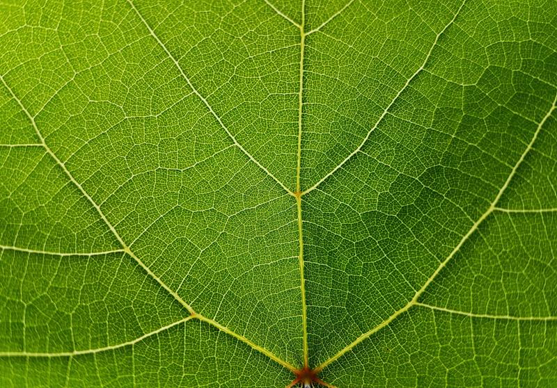 Textures Of Grape Green Leaves
