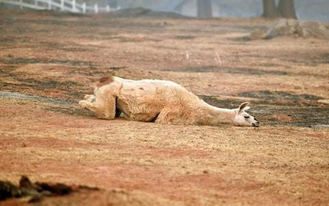 An exhausted llama lays in a partially burned field in Paradise, California  - Credit: Josh Edelson/AFP