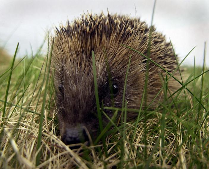 Hedgehogs are a garden favourite for many Brits but they are considered a vulnerable species. (PA)