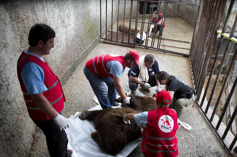 In this Wednesday, May 22, 2013 photo, members of Animal charity organization Four Paws prepare to move a sedated brown bear named Ari, from a cage inthe western Kosovo town of Prizren where he has spent a decade in captivity. Two brown bears, Ari and Arina have been released into a bear Sanctuary, in Kosovo after being rescued from a decade of captivity in a 20 square meter cage to amuse visitors of a restaurant, Kosovo officials say. Authorities released the 10-year old male and female bears on Thursday to a wider enclosure set up by the international animal charity group Four Paws. The organisation was called in to help sedate and transport the animals. (AP Photo/Visar Kryeziu)