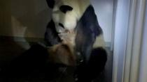 A handout image shows a giant panda Shin Shin holds one of her newly-born twin pandas at Ueno Zoological Park in Tokyo