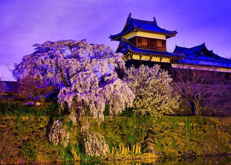 At night, you can enjoy the fantastic cherry blossoms illuminated by the light of Bonbori lanterns