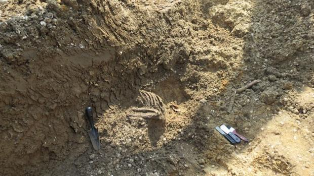 Parts of a rib cage uncovered at the excavation site.
