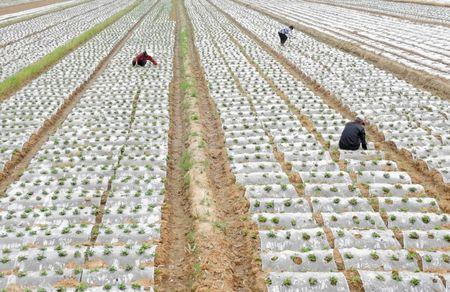 Farmers are weeding at a peanut field in Lianyungang