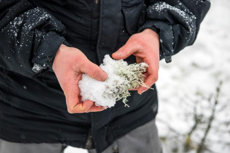 Unseasonable temperatures cause the snow to thaw and freeze again when the cold returns, building up thicker layers of ice that prevent the reindeer digging down through the snow to the lichen