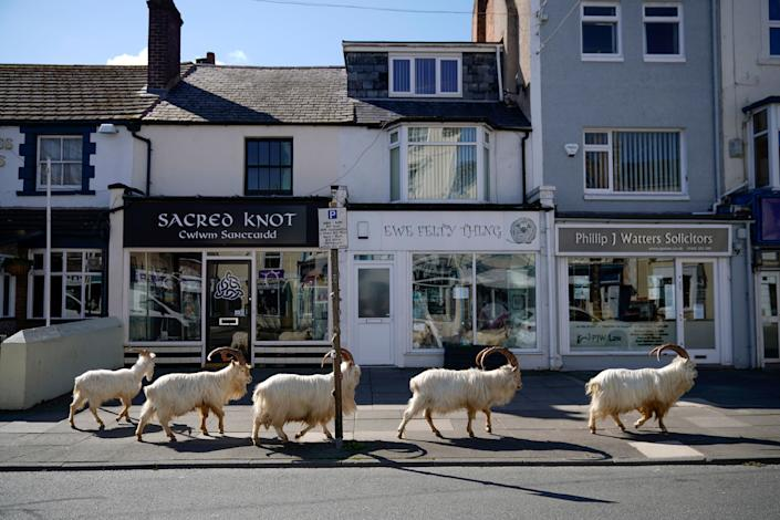 Mountain goats roam the streets of Llandudno, Wales, on March 31, 2020. The goats normally live on the rocky Great Orme but are occasional visitors to the seaside town; a local councillor told the BBC that the herd was drawn by the lack of people due to social distancing.