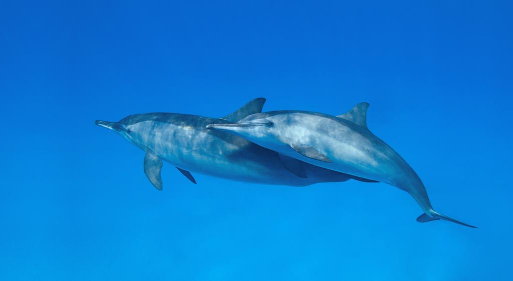 <b>Spinner Dolphin</b> (Stenella longirostris)<br>Fernando de Noronha, Brazil<br><br>Spinner dolphins are named after their aerial acrobatic abilities. They can leap 10 feet above the water's surface and spin several times around in the air.