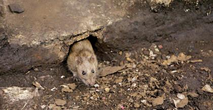 Rats may get aggressive due to COVID-19 closures, CDC warns