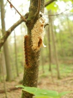 A tan-coloured spongy pellet attached to tree bark