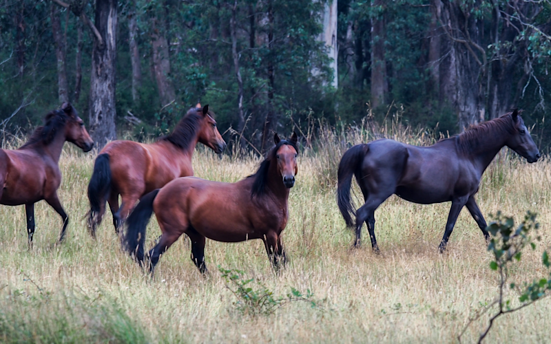 A group of horses in Victoria's alpine region. One looks to the camera.