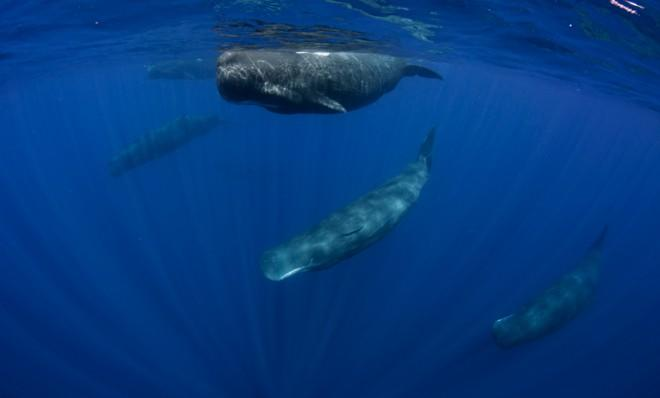 The sperm whale can dive for up to an hour.