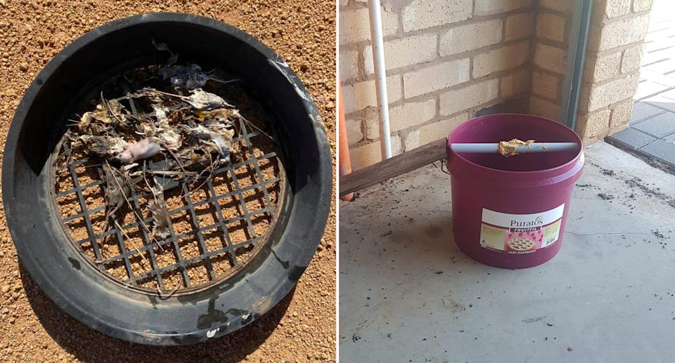 Dead mice in a rain water tank strainer (left) and a home made bucket trap to catch mice (right)
