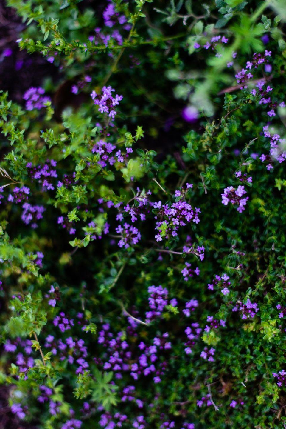 """<p>Thyme is a low-growing perennial which produces gorgeous tiny pink or purple flowers in early spring. It actually makes a great groundcover with little maintenance! There are many different types, including lemon, orange, and lavender thyme.</p><p><a class=""""link rapid-noclick-resp"""" href=""""https://go.redirectingat.com?id=74968X1596630&url=https%3A%2F%2Fwww.burpee.com%2Fherbs%2Fthyme%2Fthyme-orangelo-prod500751.html&sref=https%3A%2F%2Fwww.thepioneerwoman.com%2Fhome-lifestyle%2Fgardening%2Fg36533467%2Fbest-perennial-herbs%2F"""" rel=""""nofollow noopener"""" target=""""_blank"""" data-ylk=""""slk:SHOP NOW"""">SHOP NOW</a></p>"""