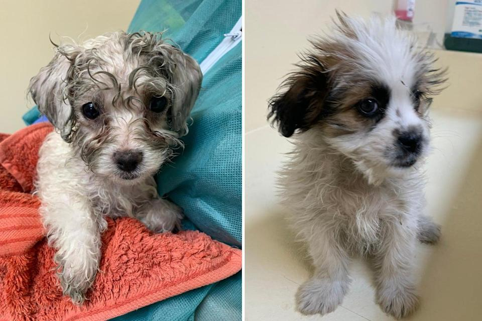 <p>The Dogs Trust issued photos in July of these puppies, among six rescued from the back of a van after being illegally imported into the UK from Romania </p>PA