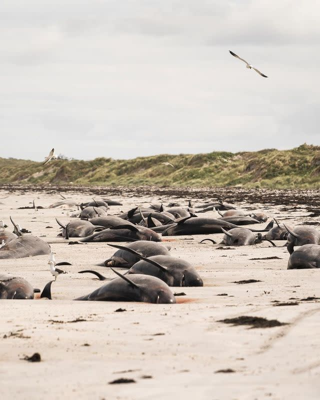 Whales are seen stranded on the beach in Chatham Islands