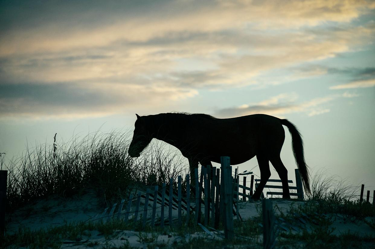 A wild Spanish mustang on an Outer Banks dune in 2011. (Photo: John Greim via Getty Images)