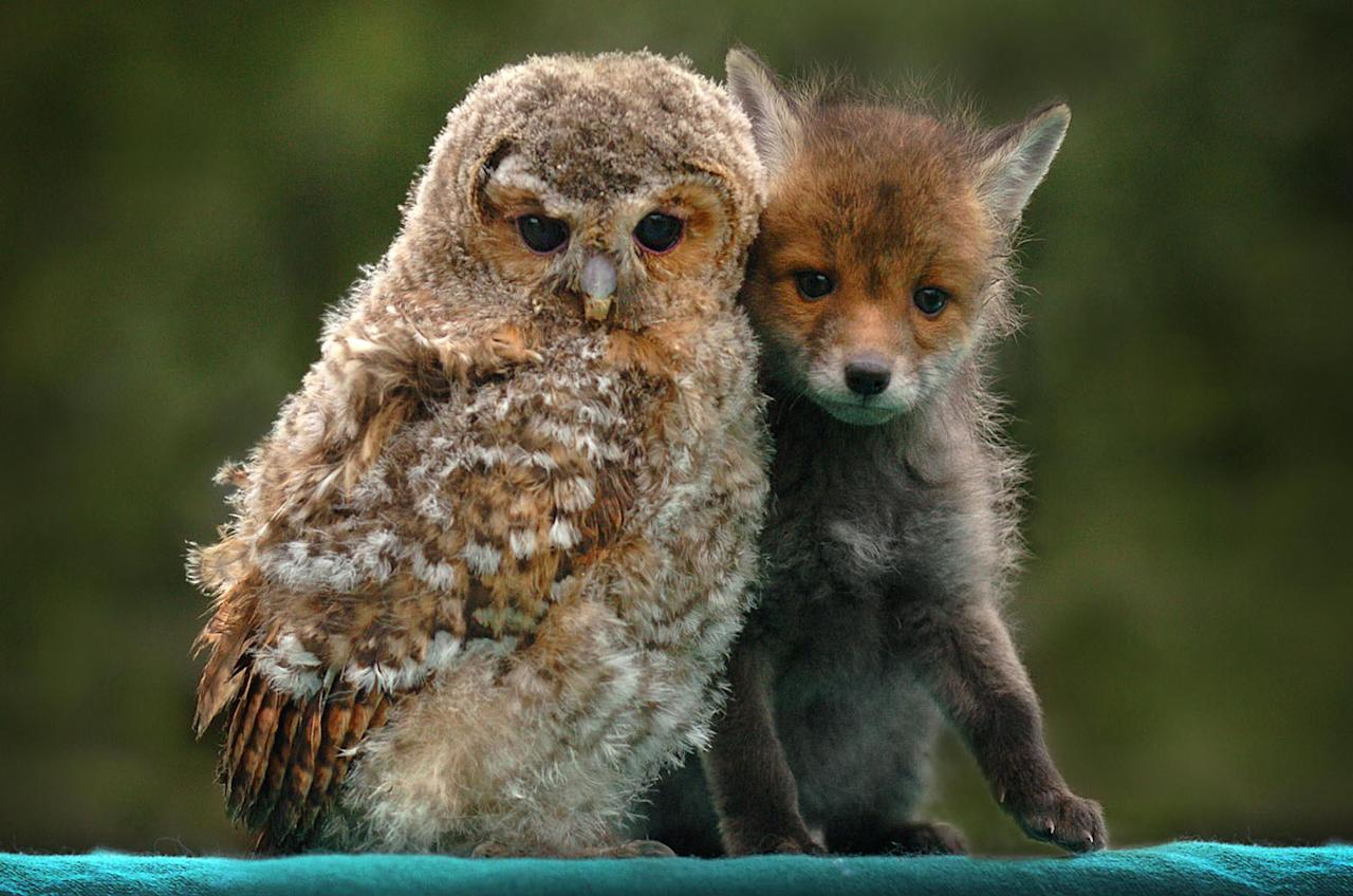 <p>Their friendship could easily have come from the pages of a fairytale book but rusty the fox cub and olivia the baby owl really are twoo of a kind. (Caters News) </p>