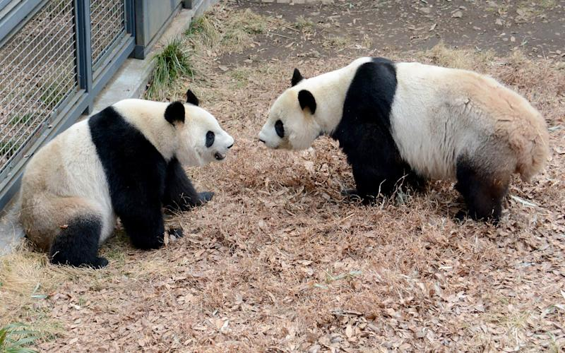 The pandas preparing to mate - Credit: AFP/Getty Images