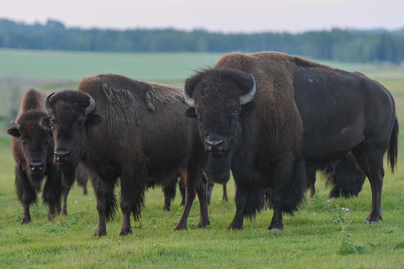 A herd of bison is seen in a field west of Calgary.  (Photo: NurPhoto via Getty Images)