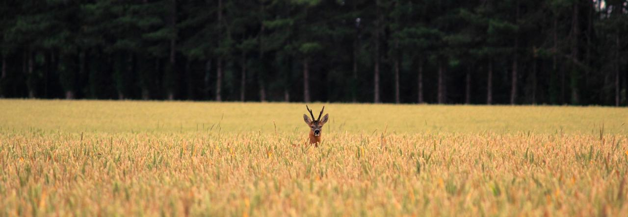 'Roe Deer in White Field', Suffolk: Rowley Taylor won the 'Your View' youth class for this picture, taken in July, of a roe deer in a field of wheat with a strip of trees as a backdrop. (Rowyey Taylor, Landscape Photographer of the Year)
