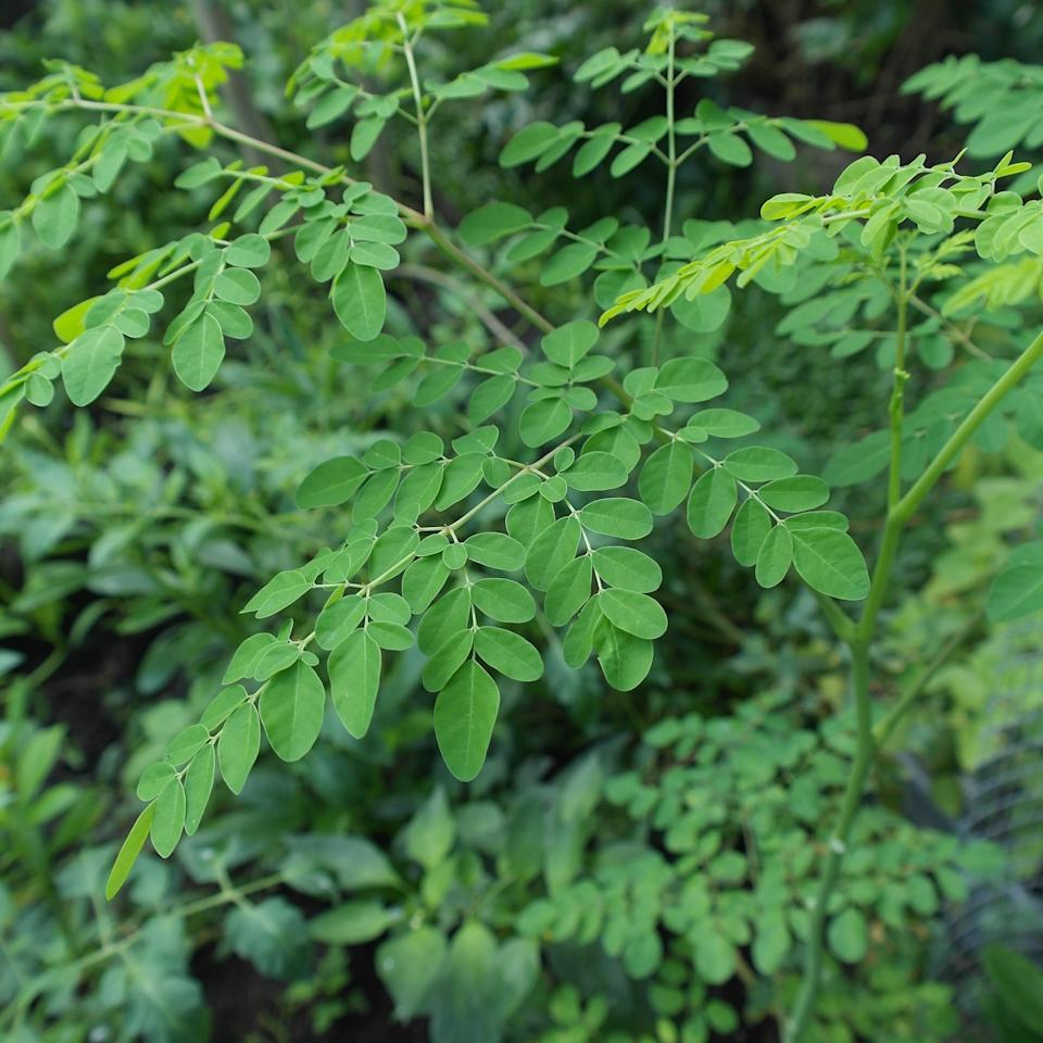 <p>Moringa has been named a superfood for good reason. It has three times the potassium of a banana, three times the calcium of milk, and two times the protein of yoghurt – three grams per tablespoon. Any vegan eaters who have a tough time getting enough protein can benefit from the introduction of moringa into their diet. </p>
