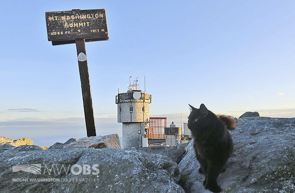 In this June 28, 2020 image provided by Mount Washington Observatory, Marty the cat walks on a boulder outside the Mount Washington Observatory in North Conway, N.H. The black Maine coon cat, who has patrolled the Northeast's highest peak for a dozen years as its weather observatory's mascot, has died. The Mount Washington Observatory staff have had a cat at the summit since 1932. (Ryan Knapp/Mount Washington Observatory via AP)