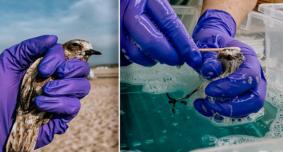 Left - a snowy plover after being rescued at the beach. Right - a snowy plover being cleaned.
