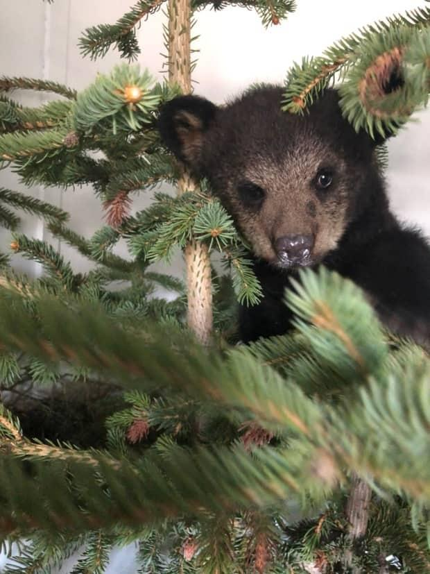 An orphaned black bear cub from northern Alberta was seized from the Cochrane Ecological Institute by the province after the CEI broke provincial rules. (Submitted by Clio Smeeton - image credit)