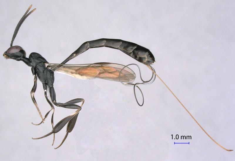 Four New Wasp Species Identified in China