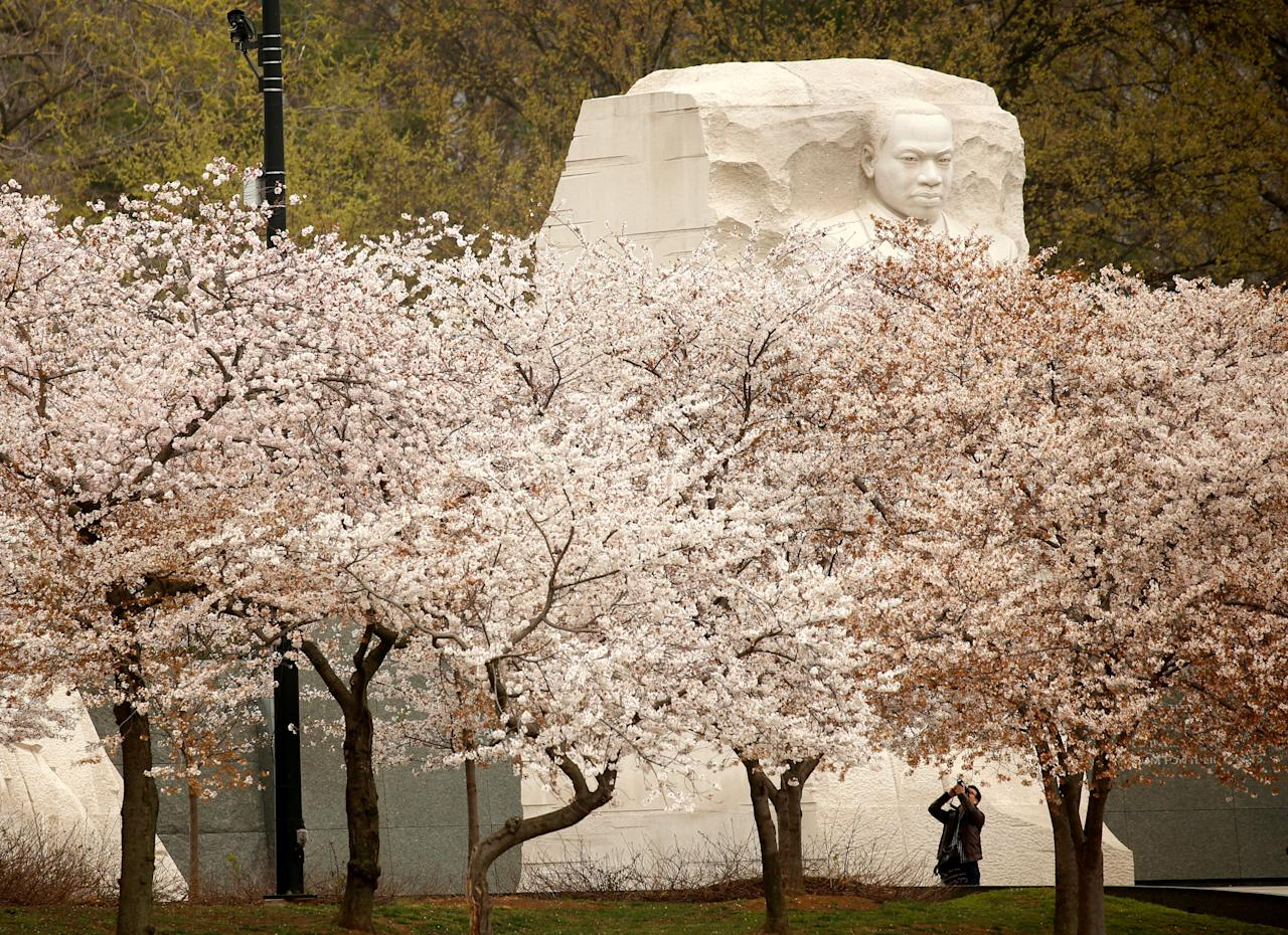 The face on the Martin Luther King Jr. Memorial rises above the cherry trees as a visitor photographs the blossoms along the Tidal Basin in Washington, U.S., March 27, 2017. REUTERS/Kevin Lamarque