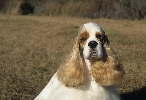 """<div class=""""caption-credit""""> Photo by: MARY BLOOM</div><div class=""""caption-title"""">Cocker Spaniel</div>The people-adoring <a href=""""http://www.vetstreet.com/dogs/cocker-spaniel"""" rel=""""nofollow noopener"""" target=""""_blank"""" data-ylk=""""slk:Cocker Spaniel"""" class=""""link rapid-noclick-resp"""">Cocker Spaniel</a> dislikes being left alone; Cockers who aren't well socialized - and even some who are - can develop severe separation anxiety that takes the form of barking, whining and destructive behavior. In addition, his coat requires professional grooming or frequent care from a dedicated owner. The silky medium-length coat must be brushed several times a week and bathed and trimmed weekly. Even a Cocker with a short trim needs frequent brushing and bathing and trimming every couple of weeks. He is prone to ear infections, so weekly ear inspection and cleaning (if needed) are recommended. Many people rely on professional groomers every four to six weeks to keep their Cocker Spaniels looking the very best."""