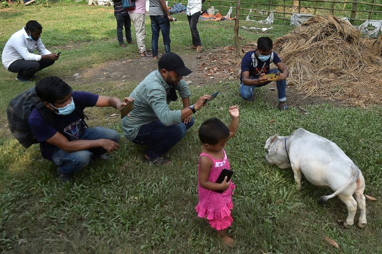Locals are defying coronavirus restrictions to come take pictures with the tiny cow