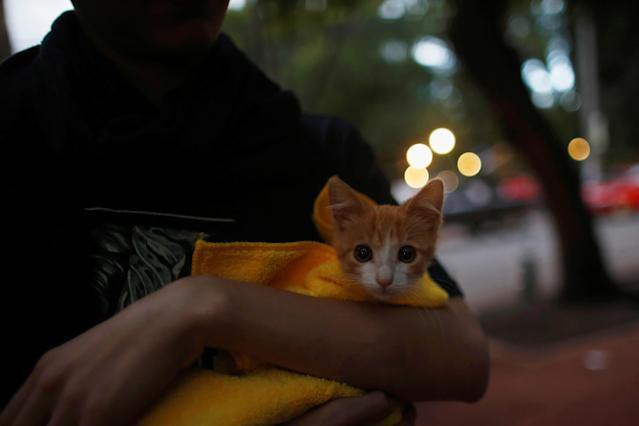 <p>A kitten is pictured after it is recently adopted at a provisional pet shelter following an earthquake at Condesa neighbourhood in Mexico City, Mexico, Sept. 22, 2017. (Photo: Carlos Jasso/Reuters) </p>