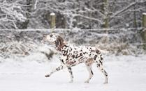 <p>Almost camouflage, this Dalmatian is loving the snow in Apedale Community Country Park in Newcastle-under-Lyme.</p>