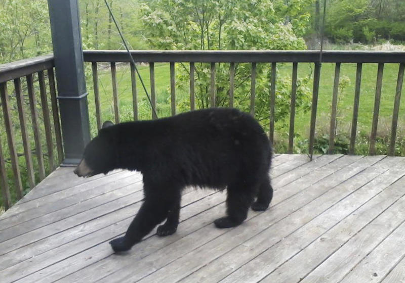 Dry summer means more encounters with hungry bears