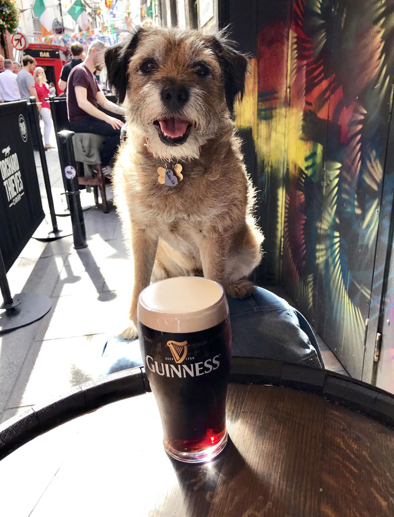 Pete the border terrier with a Guiness. (Photo: Caters News)