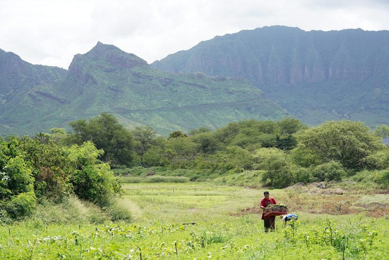 Farmers work at Ma'o farms in Waianae, Hawaii, in July 2019.