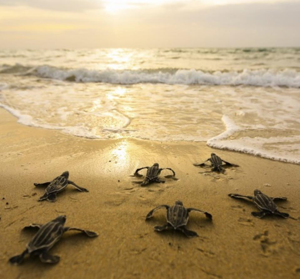 Experts expect sea turtles will thrive this summer due to reduced boat traffic and tourists on Florida beaches. (Credit: Ben Hicks, Sea Turtle Conservancy)