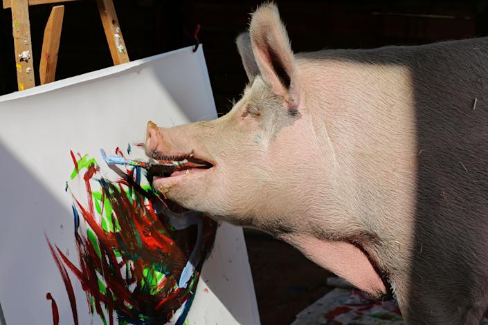 Pigcasso, a rescued pig, paints. (Photo: Sumaya Hisham/Reuters)