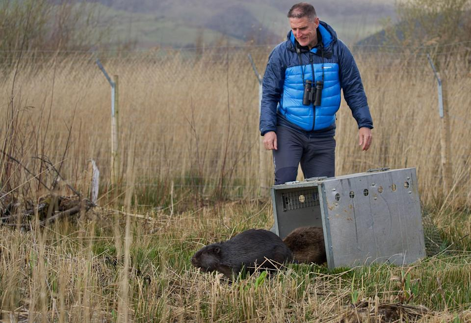 Naturalist Iolo Williams helped release the beavers, one of whom is a rare black type (Emyr Evans/Montgomeryshire Wildlife Trust/PA)