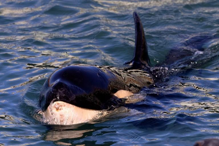 New Zealand rescuers are searching for the mother of a stranded baby killer whale