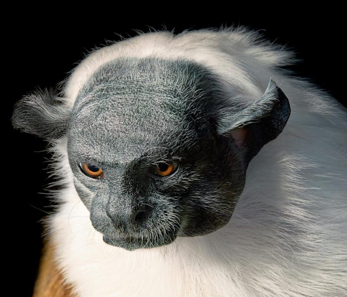 A new book by British photographer Tim Flach documents some of Earth's most treasured species pushed to the brink of extinction by manmade crises, from pangolins hunted for their scales to Brazil's pied tamarin (pictured) threatened by urbanization