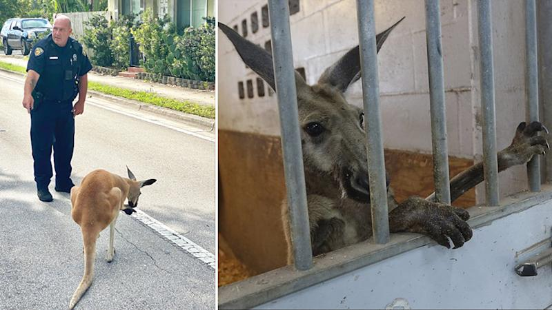 Jack the stray kangaroo was captured and taken to a barn.