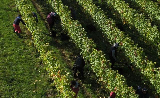 Swapping grape varieties can offer a way forward for winemakers