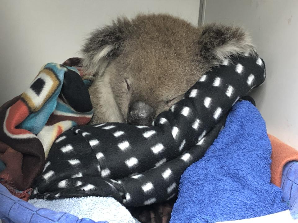 Ambrose the koala wrapped in blankets while in care.