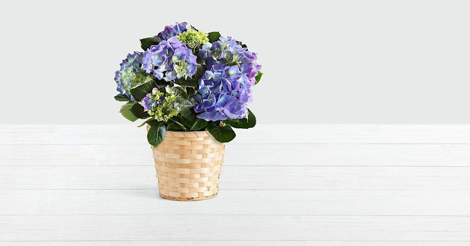 """<p>If blue is your mom's favorite color, the <a href=""""https://www.popsugar.com/buy/Potted-Blue-Hydrangea-569155?p_name=Potted%20Blue%20Hydrangea&retailer=proflowers.com&pid=569155&price=55&evar1=casa%3Aus&evar9=46127505&evar98=https%3A%2F%2Fwww.popsugar.com%2Fhome%2Fphoto-gallery%2F46127505%2Fimage%2F46129892%2FPotted-Blue-Hydrangea&list1=shopping%2Cgift%20guide%2Cflowers%2Chouse%20plants%2Cplants%2Cmothers%20day%2Cgifts%20for%20women&prop13=api&pdata=1"""" class=""""link rapid-noclick-resp"""" rel=""""nofollow noopener"""" target=""""_blank"""" data-ylk=""""slk:Potted Blue Hydrangea"""">Potted Blue Hydrangea</a> ($55) is the perfect gift for her!</p>"""