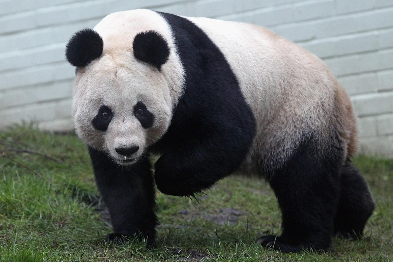 EDINBURGH, SCOTLAND - DECEMBER 16:  Tian Tian the female panda bear looks out from her enclosure as members of the public view her for the first time at Edinburgh Zoo on December 16, 2011 in Edinburgh, Scotland. The eight-year-old pair of giant pandas arrived on a specially chartered flight from China over a week ago and are the first to live in the UK for 17 years. Edinburgh zoo are hopeful that the pandas will give birth to cubs during their 10 year stay in Scotland.  (Photo by Jeff J Mitchell/Getty Images)