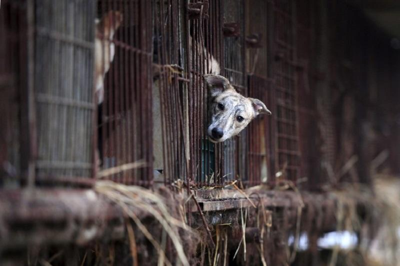 In this picture taken on November 28, 2017, a dog looks out from a cage at a dog farm during a rescue event, involving the closure of the farm organised by the Humane Society International (HSI) in Namyangju on the outskirts of Seoul. — AFP pic