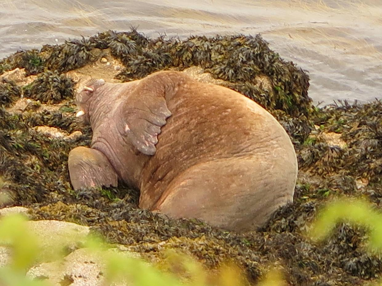 The walrus has clocked up significant sea miles in recent months with visits to Ireland, Wales and France. (SWNS)